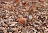 Autumn squirrel — Stock Photo