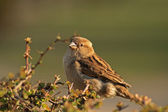 Sparrow hause sparrow — Stock Photo
