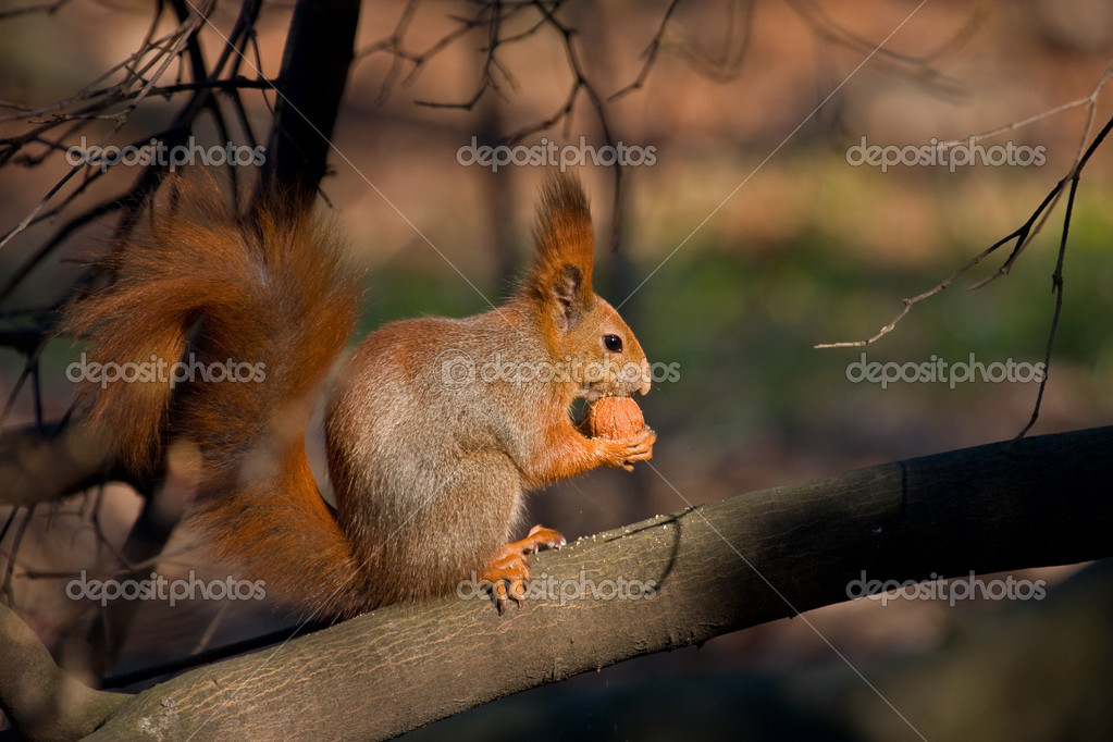 Wild red squirrel — Stock Photo #2084635