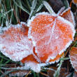 Aspen leaves in the frost — Stockfoto