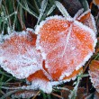Aspen leaves in the frost — Stock fotografie