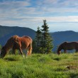 Horses on a pasture - Stock Photo