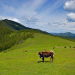 Cow in mountains — Stock Photo #2416265