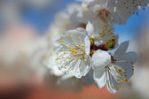 Spring bloom of apricot tree — Stock Photo