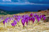 Blossoming crocuses — Stock Photo