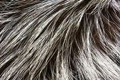 Fur of a silver fox — Stock Photo