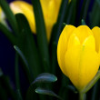 Yellow crocus — Stock Photo
