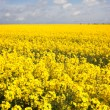 Yellow rape field — Stock Photo