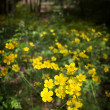 Stock Photo: Wild yellow spring flowers