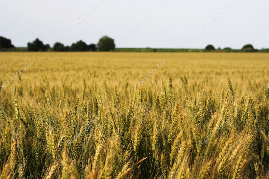 Golden wheat field-close up — Stock Photo #2403105