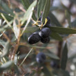 Olives on branch - Stock Photo