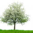 Isolated blooming tree — Stock Photo