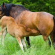 Mare nursing — Stock Photo