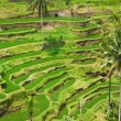 Rice terrace — Stock Photo