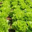 Lettuce — Stock Photo #1925306