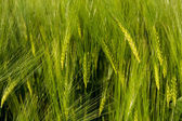 Growing wheat — Stock Photo