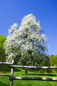 Blooming tree and meadow — Stock Photo