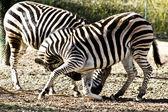 Zebras — Stock Photo