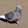 Carrier pigeon — Stock Photo