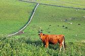 Brązowe krowy — Zdjęcie stockowe