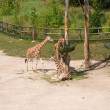 Giraffes in the Prague zoo — Stock Photo #2172611