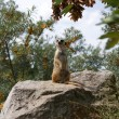 Stock Photo: Meerkat in Prague Zoo