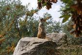 Meerkat in Prague Zoo — Stock Photo