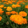 Calendula — Stock Photo #1932720
