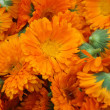Calendula — Stock Photo #1933914