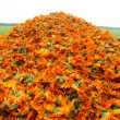 Calendula — Stock Photo #1934214