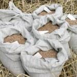 小麦作物 — 图库照片