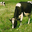 Two cows grazed on a meadow — Stock Photo #1959931