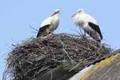 Storks in nest on roof — Stock Photo