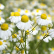 Camomile medicinal — Stock Photo