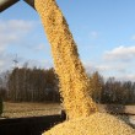 Combine harvesting a corn crop — Stock Photo