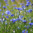 Lawn with cornflowers - Stock Photo