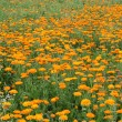 Field with calendula — Stock Photo #1963255