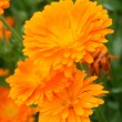 Medicinal calendula — Stock Photo