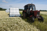 Machine harvesting Camomile medicinal — Stock Photo