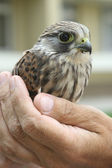 Nestling of falcon kestrel on a hand — Stock Photo