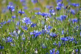 Lawn with cornflowers — Stock Photo