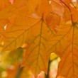 Orange maple leaf — Stock Photo #1925621