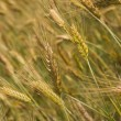 Barley field — Stock Photo #1926699