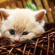 Nice kitten in the basket — Stock Photo