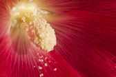 Macro of hollyhock with pistil and pollen — Stock Photo