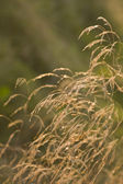 Dried grass with limited focus — Stock Photo