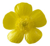 Isolated buttercup flower — Stock Photo