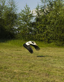 Stork starting flight — Stock Photo