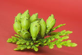 Sprig of thuja with fruits — Stock Photo