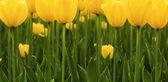 Tulipani in un giardino (calice più) — Foto Stock
